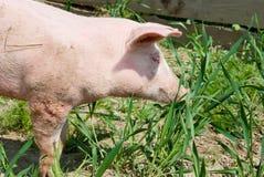 Piglet. Small piglet outdoors smelling grass. Closeup Stock Photo