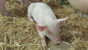 Piglet. Small Piglets at Straw at Farm stock footage