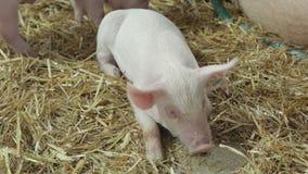 Piglet stock footage