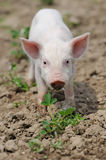 Piglet on spring grass. Piglet on spring green grass on a farm stock photos