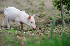 Piglet on spring grass Stock Photography