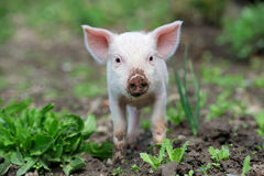 Piglet. On spring green grass on a farm Royalty Free Stock Photography
