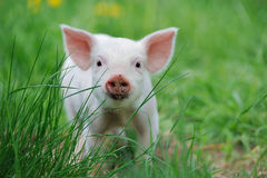 Piglet. On spring green grass on a farm Stock Photos