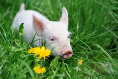 Piglet Royalty Free Stock Photo