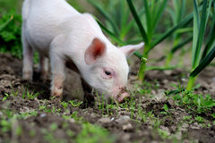 Piglet. On spring green grass on a farm Stock Images