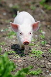Piglet. On spring green grass on a farm Royalty Free Stock Photo