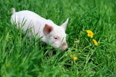 Piglet. On spring green grass on a farm Stock Photo