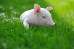 Piglet. On spring green grass on a farm Royalty Free Stock Photos