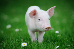Piglet. On spring green grass on a farm Royalty Free Stock Image
