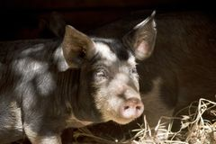 Piglet in shade. The piglet is standing on hay in the shade stock images