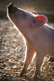 Piglet in the Morrning Royalty Free Stock Images