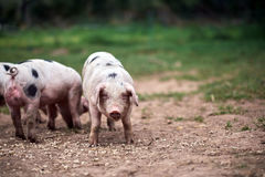 Piglet Sus scrofa domestica at an organic farm. Wales, uk Stock Images