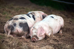 Piglet Sus scrofa domestica at an organic farm. Wales, uk Stock Photography