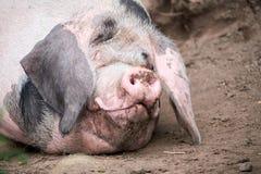 Piglet Sus scrofa domestica at an organic farm. Wales, uk Royalty Free Stock Image