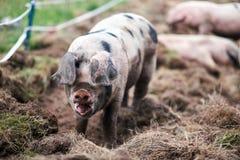 Piglet Sus scrofa domestica at an organic farm. Wales, uk Stock Photos