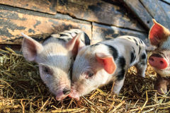 Piglet twins. Very cute little newborn piggy pigs sus scrofa in a petting zoo in the Netherlands stock image