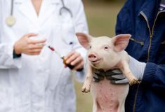 Free Piglet Vaccination Royalty Free Stock Images - 53547569