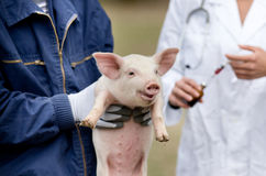 Piglet vaccination Royalty Free Stock Image