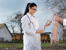 Piglet vaccination on farm. Young veterinarian woman giving vaccine to piglet on farm. Health care of farm animal concept Royalty Free Stock Photography