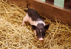 Piglet. View of piglets with grass royalty free stock photos
