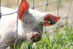 Piglet watching Stock Photography