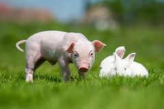 Piglet and white rabbit on spring green grass on a farm Stock Photos