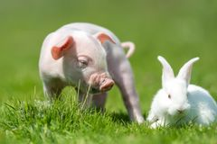 Piglet and white rabbit on spring green grass on a farm. Newborn piglet and white rabbit on spring green grass on a farm stock photo