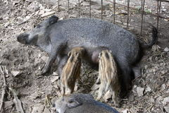Piglet wild boar with mother Stock Photo