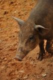 Piglet wildboar Stock Photo