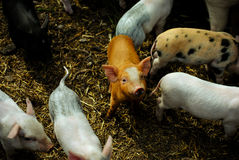 A piglet Royalty Free Stock Images