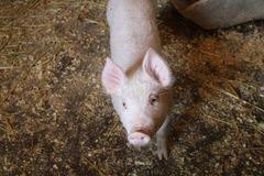 Piglet. A young piglet walking in the dirt Stock Image