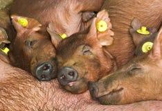 piglets Royaltyfri Fotografi