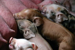 Piglets. One day piglets suckling the sow Stock Photography
