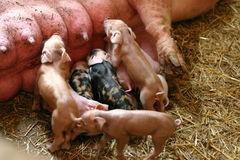 Piglets. The sow breastfeeding her farrow Stock Images