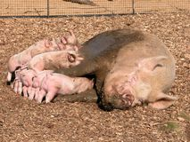 Piglets Stock Image