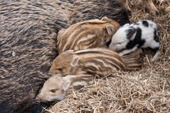 Piglets. Four wild young pigs togehter Royalty Free Stock Photo