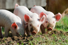 Piglets stock photo