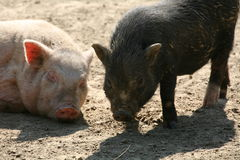 Piglets Royalty Free Stock Images
