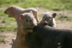 Piglets Stock Photos