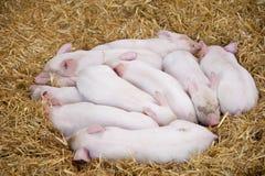 Piglets. A nest of little Piglets having a snooze Royalty Free Stock Photo