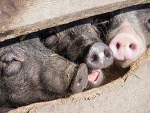 Piglets. Nice piglets at a farm royalty free stock photo