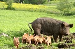 Piglets Stock Photography