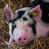 Piglet Stock Images