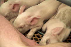 Piglets. Baby pigs feeding at sow royalty free stock photo