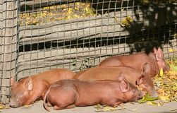 Piglets. Four piglets asleep by a fence Stock Photo