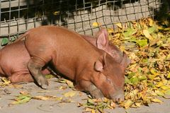 Piglets. Two piglets asleep by a fence Stock Images