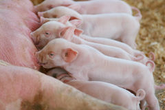 Piglets. Several baby pigs feeding from a mother pig Royalty Free Stock Photography