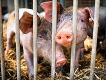 Piglets Stock Photography