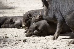 Piglets. Pigs, also called hogs or swine, are a genus of even-toed ungulates within the family Suidae Stock Photography