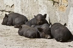 Piglets. Pigs, also called hogs or swine, are a genus of even-toed ungulates within the family Suidae Royalty Free Stock Photography